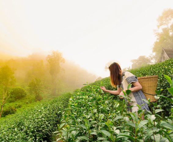 tea tou