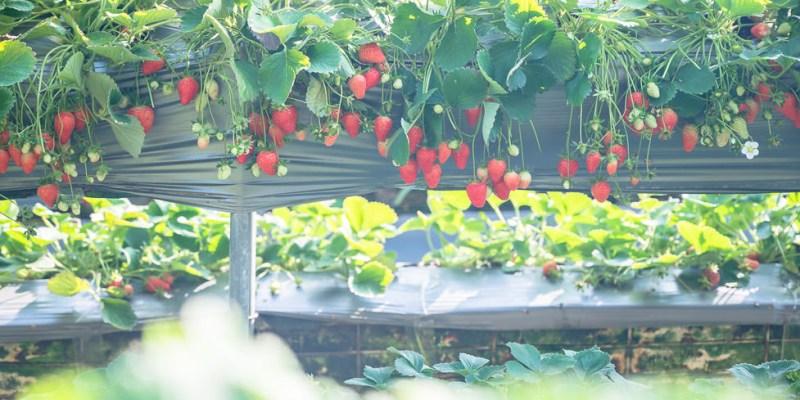  苗栗景點 雙坑高架草莓園,結實纍纍的草莓,讓人採到不亦樂乎
