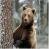 Romania isi gestioneaza populatia de urs in mod iresponsabil