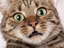 Stirea care inspaimanta internetul: 3% dintre elvetieni consuma carne de pisica