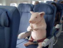 Cand vor zbura porcii? O femeie a fost scoasa din avion din cauza animalului de companie