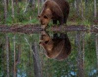 Harghita : bărbat rănit de urs