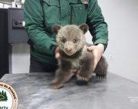 Salvatorii a 2 ursuleţi abandonaţi de mama lor, amendaţi de Garda de Mediu | AUDIO