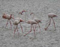 Turiștii au alungat păsările flamingo din Delta Dunării
