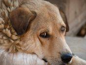 Rabia | SUA închid granițele pentru câinii din 100 de țări. În România, o treime sunt nevaccinați