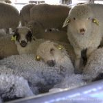 Agent Green, despre legea exportului de animale vii: USR și AUR se dovedesc la fel ca PSD