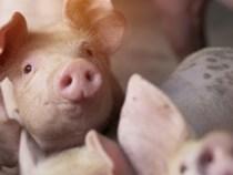 ANSVSA: Nu interzicem şi nu limităm creşterea porcinelor în gospodăriile populaţiei