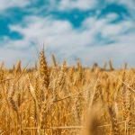 Arad: Agricultorii se așteaptă la cea mai bună producție de grâu din ultimii ani | AUDIO
