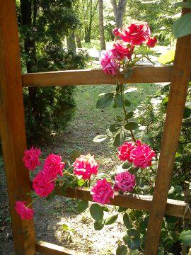 Trandafiri01