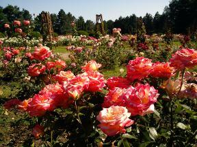 Trandafiri07