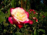 Trandafiri10
