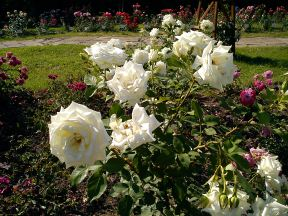 Trandafiri18