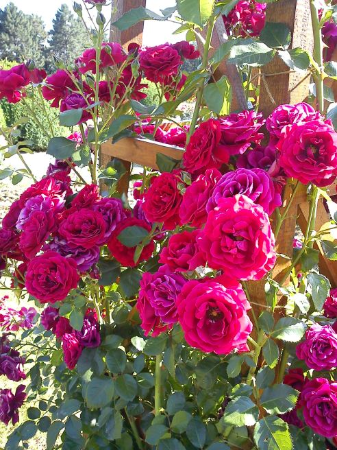 Trandafiri20