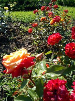 Trandafiri21
