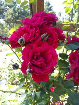 Trandafiri22