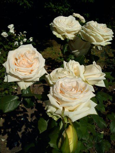 Trandafiri24
