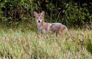 North Carolina coyote