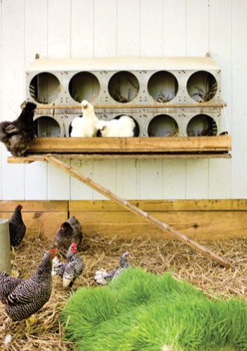 Chickens in their swanky coop.