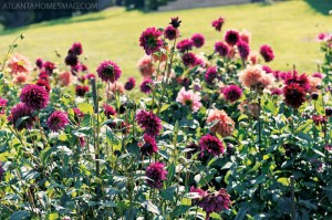 The dahlias bloom from the end of June until the first frost, after which Carolyn digs up the bulbs and divides them, carefully storing them until the next year. She annually adds about 25 new dahlias to the mix, ordering the latest varieties from Swan Island Dahlias in Canby, Oregon.