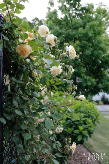A fence with climbing roses borders the meadow.