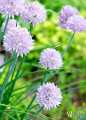 Chives grow in the herb garden.