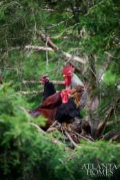 Summerland Farm's resident hens.