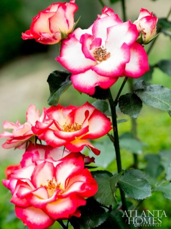 A bold Betty Boop rose flaunts a bright pink-tinged spread of petals at full bloom.