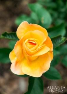 Tangerine-tinged Julia Child roses.
