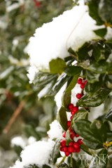 A holly hedge in the yard produces cheery red berries amid a snowfall.
