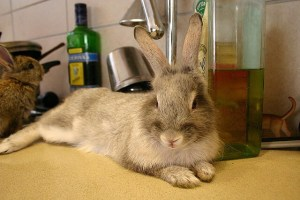 pet-rabbit-on-kitchen-counter-by-nivs