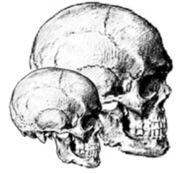 Abb. 1 Maßstabgetreue Rekonstruktion eines der Riesenschädel von Montpellier im Vergleich mit einem 'normalen' Cranium (Zeichnung: Micah Ewers)