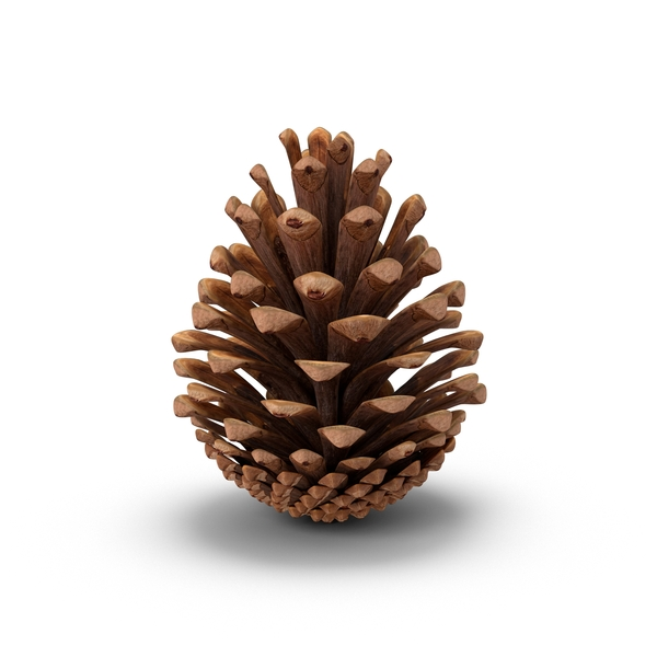 Fir Cone PNG Images Amp PSDs For Download PixelSquid S105094755