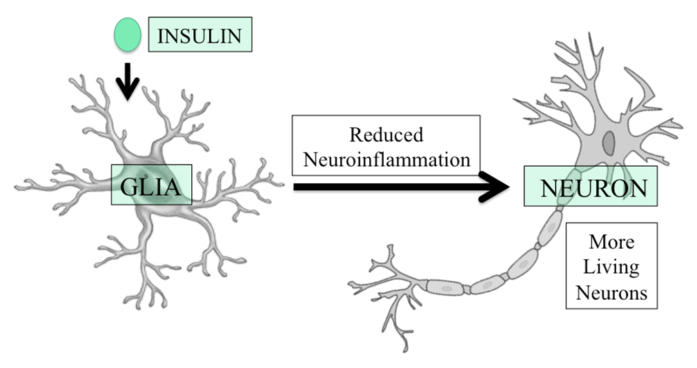 Fig. 1. Insulin protects the health of neurons by decreasing the damaging effects of inflammation caused by glia.