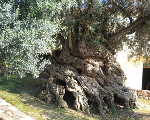 7 olivetree
