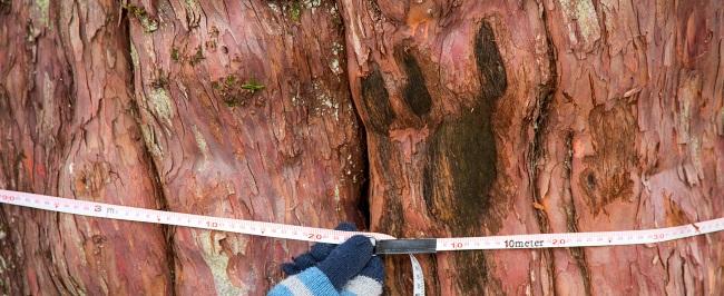 Как узнать возраст дерева не спиливая его