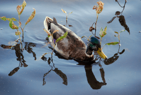 Decorative Duck (Mallard) | September 26, 2009