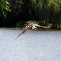 Young Night-Heron in Flight | July 27, 2011, 2:30 pm
