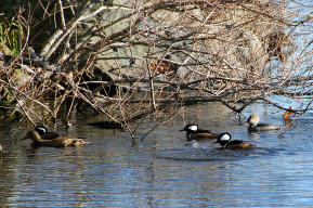 Hooded Merganser Drakes in Cove | December 3, 2011, 9: 49 am