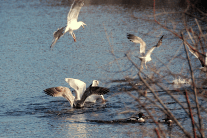 Gulls in Feeding Frenzy for Small Fish | February 8, 2012, 11:38 am