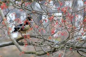 Wood Duck Drake | March 25, 2012, 9:41 am
