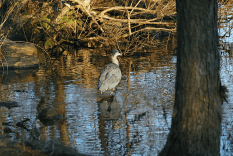 Great Blue Heron in Cove | December 23, 2012, 2:55:56 pm