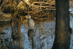 Great Blue Heron in Cove | December 23, 2012, 2:56:01 pm
