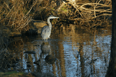 Great Blue Heron in Cove | December 23, 2012, 2:56:08 pm