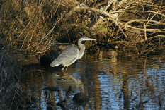 Great Blue Heron in Cove | December 23, 2012, 2:56:11 pm