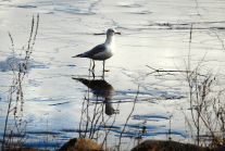 Gull on Ice | January 31, 2013, 12:12 pm