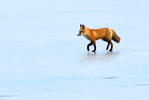 Red Fox | January 19, 2013, 11:36 am