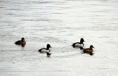 Two Pairs of Ring-necked Ducks | March 5, 2013