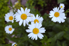 2. Oxeye Daises After Rain
