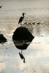 Great Blue Heron and Friends | August 28, 2014, 7:30 am