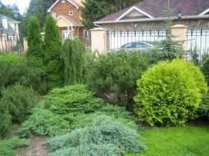 Хвойные растения на участке – неповторимый шик и элегантность сада